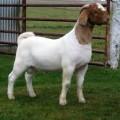 Goat farm business